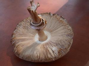 comment faire pousser des champignons utilisant un champignon sac grow spawn. Black Bedroom Furniture Sets. Home Design Ideas