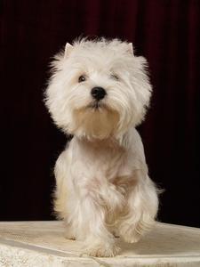 Maladie du foie chez les chiens & mort