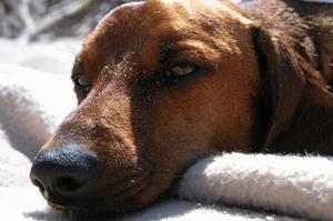 Un plant de citronnelle est toxique pour les chiens ?