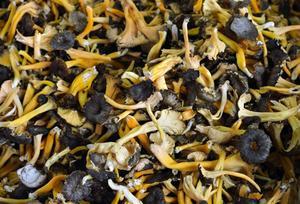 Variétés de champignons sauvages