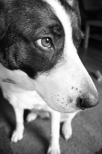 Rémission spontanée du Cancer chez les chiens