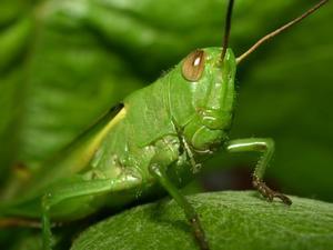 Quelle est la signification des sauterelles ?