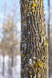 Lichens qui poussent sur les branches des arbres fruitiers