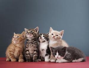 Comment prendre soin d'une chatte en chaleur