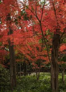 Comment prendre soin d'un érable rouge Dragon japonais de deux ans