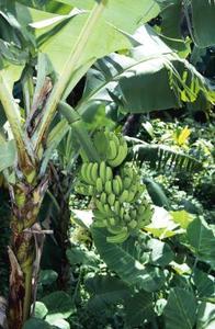 Comment faire pousser des Plants de bananier nain