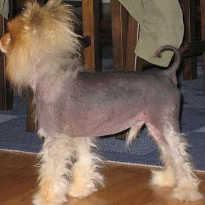 Soin holistique pour la maladie de cushing canine