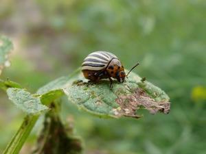Comment faire pour tuer les insectes sur les plantes de pomme de terre