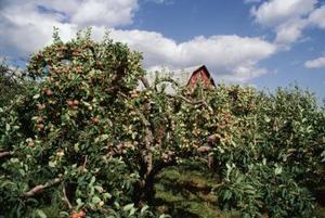 Distances d'idéaux entre les arbres fruitiers