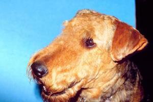 Comment faire pour couper visage d'un Welsh Terrier