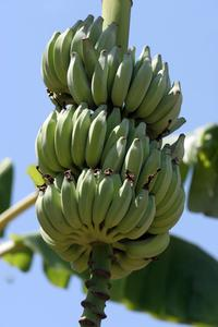 Comment se débarrasser des blancs minuscules insectes dans mon bananiers