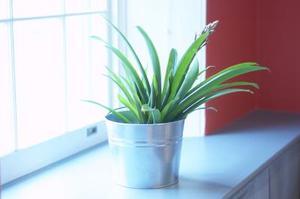L'aspirine tue mouches blanches dans les plantes d'intérieur ?