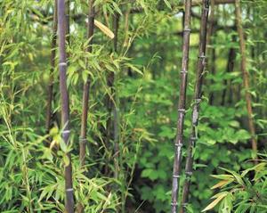 Croissances ombre arbustes
