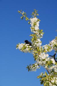 Comment faire pour loigner les oiseaux loin de vos cerisiers - Comment faire fuir les oiseaux des cerisiers ...