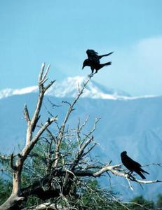 Comment faire fuir un corbeau qui ne laissera