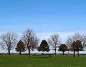 Ce qui est un bon arbre à feuillage persistant ou un grand arbuste pour une clôture d'intimité ?
