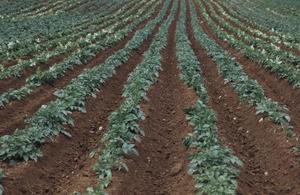 Comment les pommes de terre s'enraciner ?
