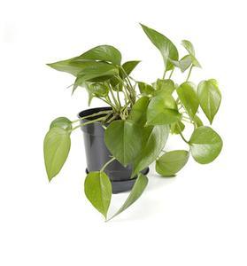 Plantes d'intérieur aux feuilles vertes & jaunes