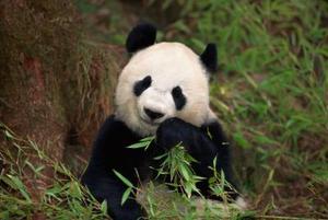 Caractéristiques physiques de Panda géant