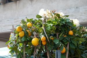 Quel type de sol poussent les orangers en ?