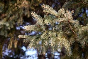Maladies qui transforment les arbres à feuilles persistantes Brown