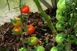 Vigne en pot - Comment faire pousser des tomates ...