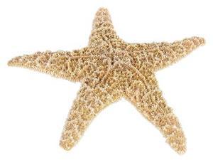 Comment obtenir l'odeur de l'étoile de mer séché