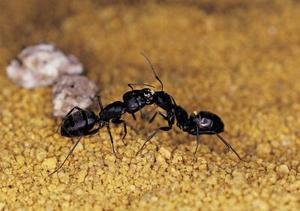 Comment utiliser l'huile de menthe poivrée pour se débarrasser des fourmis