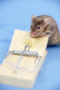 Les meilleures façons de tuer une souris