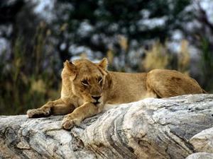 Apprendre le visage de lion - Comment dessiner un lion ...