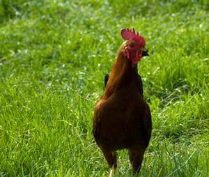 Comment garder un coq de poules lev es en plumes - Comment garder un calla ...