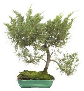 Comment faire pour d marrer un bonsa de cornouiller - Comment faire un bonsai ...