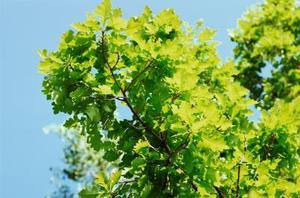 Quelle est la différence en chêne & couleurs chênes au miel ?