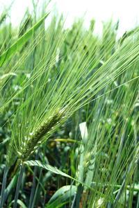 Identification des plantes des mauvaises herbes ligneuses