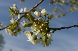 Cerisier jeune a former - Quand tailler cerisier ...