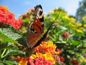 Quelles sont les fleurs je peux planter avec un Rainbow Butterfly Bush ?