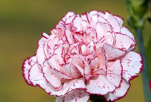 Comment faire pour les fleurs de couleur avec le colorant