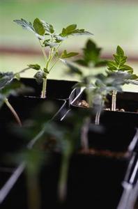 Premiers stades de croissance des tomates