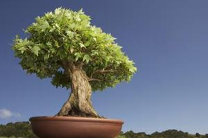 Comment faire pour cr er un bonsa rable conique - Comment faire un bonsai ...