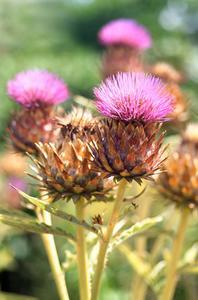 Liste des plantes m dicinales en m diterran e - Liste des plantes medicinales ...