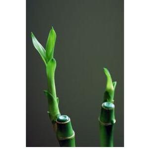 comment prendre soin d 39 une plante d 39 int rieur en bambou. Black Bedroom Furniture Sets. Home Design Ideas
