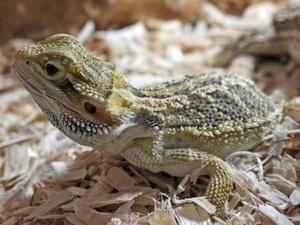 Comment faire la différence entre les lézards mâles & femelles
