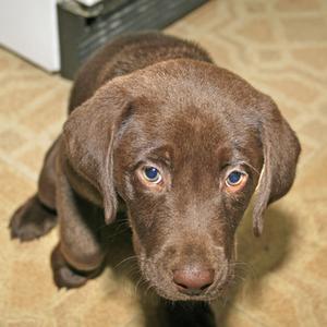 Caisse un chiot Labrador âgés de 8 semaines de formation