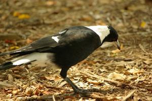 Comment se débarrasser des oiseaux de magpie