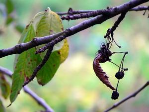 Taches brunes sur les feuilles de l'azalée
