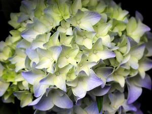 Comment faire une guirlande d 39 hortensias - Comment faire secher des hortensias ...