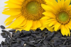 Comment faire pour démarrer les graines de tournesol
