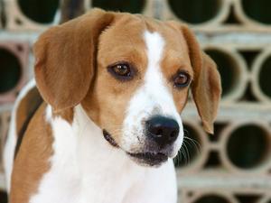 Utilisations de Previcox pour chiens