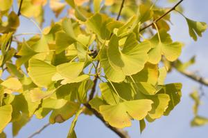 Comment prendre soin d'un arbre de Gingko Golden Globe