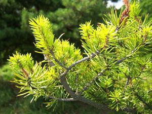 Différence entre jobes fruit arbre pointes & sempervirentes pointes